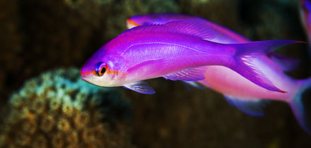 Mikronésie Queen Anthias