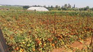 Organic Agriculture and Vegetable production using drip irrigation
