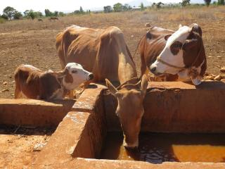 Cattle watering point in Fedis woreda